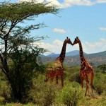 Reticulated Giraffe Project